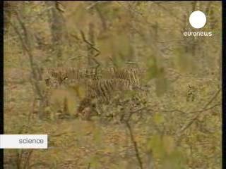 """India's tigers need """"miracle"""" to survive"""